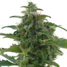 Low Diesel (Autofloreciente) > AC Genetics