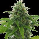 Fast Haze (autoflowering) > AC Genetics