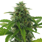 Fast Haze (autoflowering) &gt; AC Genetics