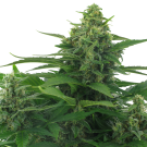 Flying Skunk (autoflowering) > AC Genetics