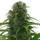 Rapid Afghan (autoflowering) &gt; AC Genetics