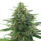 White Express (autoflowering) &gt; AC Genetics