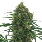 Quick Fruit (autoflowering) > AC Genetics